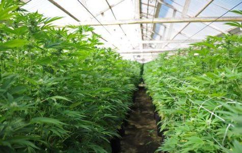 The Growing Marijuana Industry In Salinas